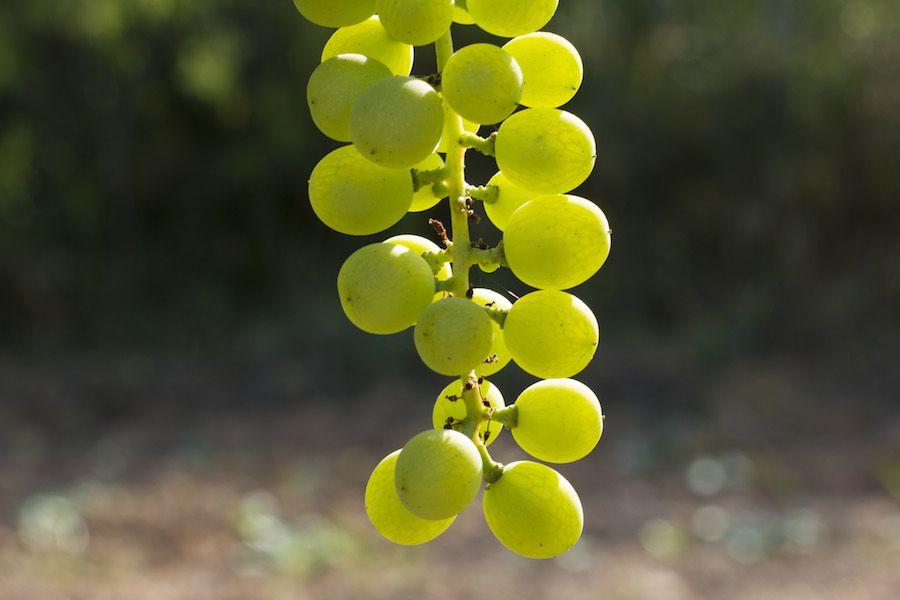 Malvasia de Sitges varietal
